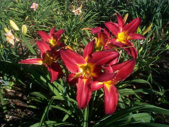 Daylilies P Z Daysong Daylilies